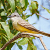 Tropical Kingbird-8244