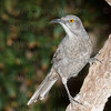curve-billed thrasher-6972