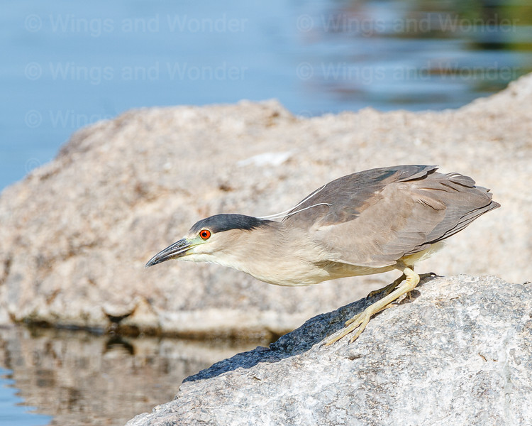 Black-crowned Night-Heron-8698