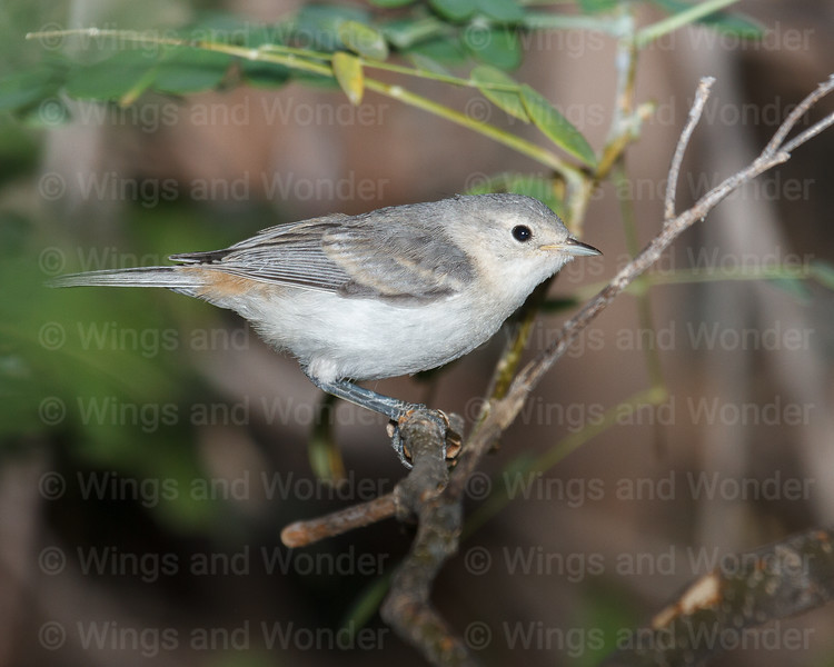Lucy's Warbler-4961