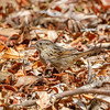 Lincoln's Sparrow-1159