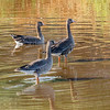 Greater White-fronted Geese-3961