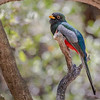 Elegant Trogon-8610-Edit-2