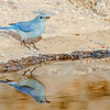 Mountain Bluebird reflection-0212