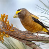Evening Grosbeak-7079-Edit-2