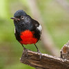 Painted Redstart-4728