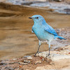 Mountain Bluebird-0213