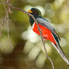 Elegant Trogon male-4081