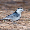 White-breasted Nuthatch-0987