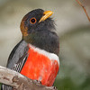 Elegant Trogon-5953-Edit-Edit
