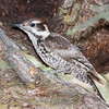 Arizona Woodpecker-8941