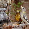 Evening Grosbeak-7001