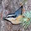 Red-breasted Nuthatch-5535
