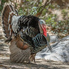 Wild Turkey-8630-Edit-2