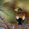 Evening Grosbeak-7008
