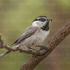 Mountain Chickadee-4840