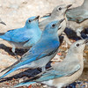Mountain Bluebirds-1858