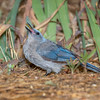 Mexican Jay-3895-Edit-Edit