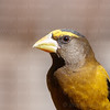 Evening Grosbeak-7038