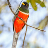 Elegant Trogon-3525-Edit