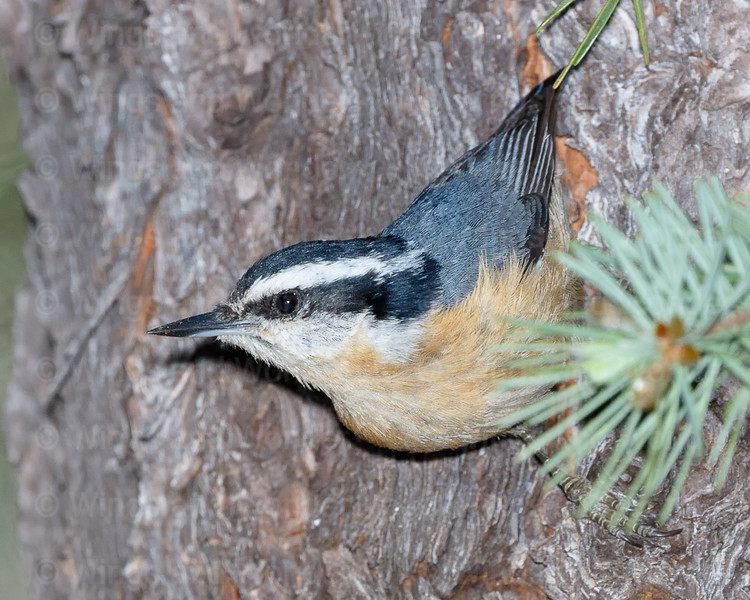 Red-breasted Nuthatch-5535-Edit