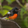 Painted Redstart-4658-Edit-2