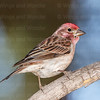 Cassin's Finch-6678-Edit