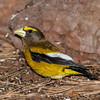 Evening Grosbeak-6930