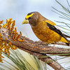 Evening Grosbeak-7079-3