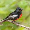 Painted Redstart-4704