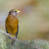 Evening Grosbeak-6999