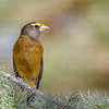 Evening Grosbeak-6998