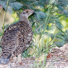 Dusky Grouse-0544