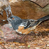 Spotted Towhee-6393