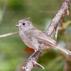 Juniper Titmouse-9439