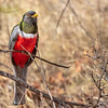 Elegant Trogon-1926-Edit