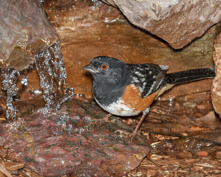 Spotted Towhee-6371