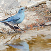 Mountain Bluebird-1828