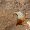 Canyon Wren-5799-Edit