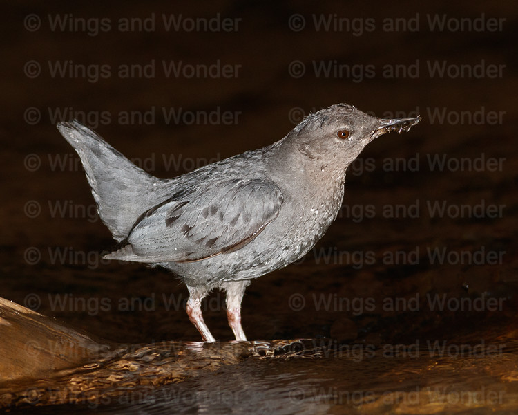 American Dipper with food-2692