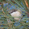 Pygmy Nuthatch through grass-4462-Edit