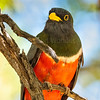 Elegant Trogon-5575-Edit-3