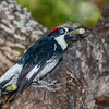 Acorn Woodpecker with acorn-3849
