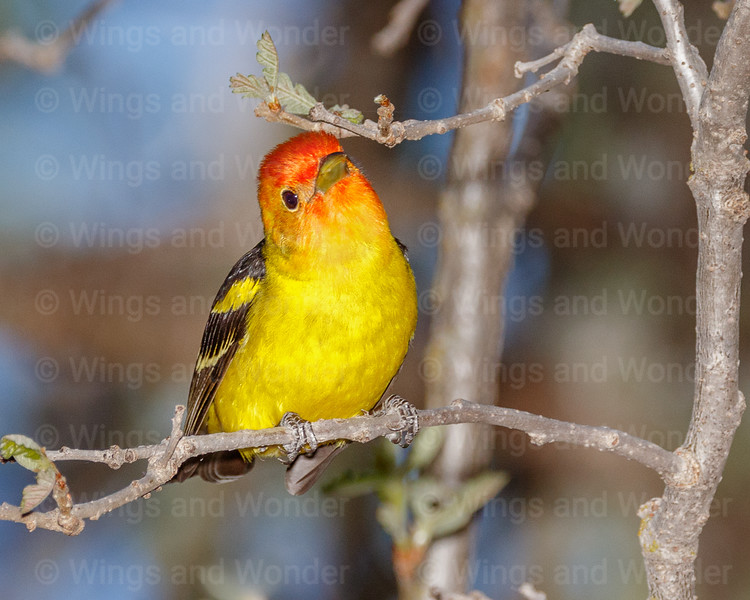 Western Tanager-5653