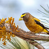 Evening Grosbeak-7079