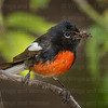 Painted Redstart-4658-Edit