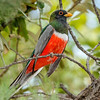 Elegant Trogon-5723-Edit-3