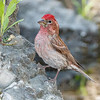 Cassin's Finch-7358-Edit
