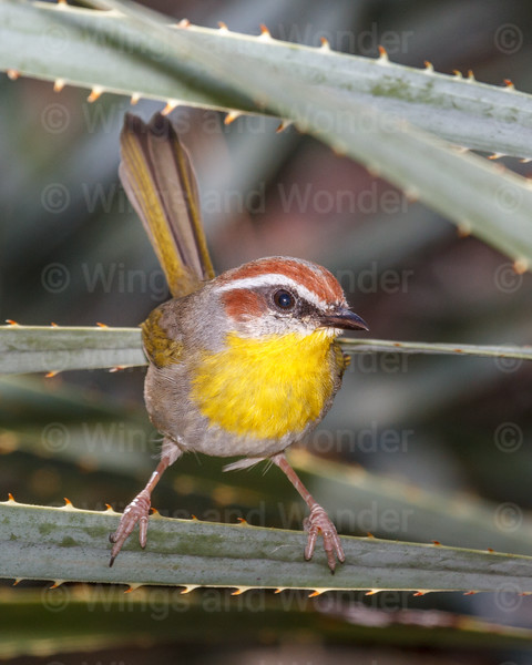 Rufous-capped Warbler-7323