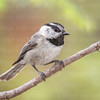 Mountain Chickadee-4756